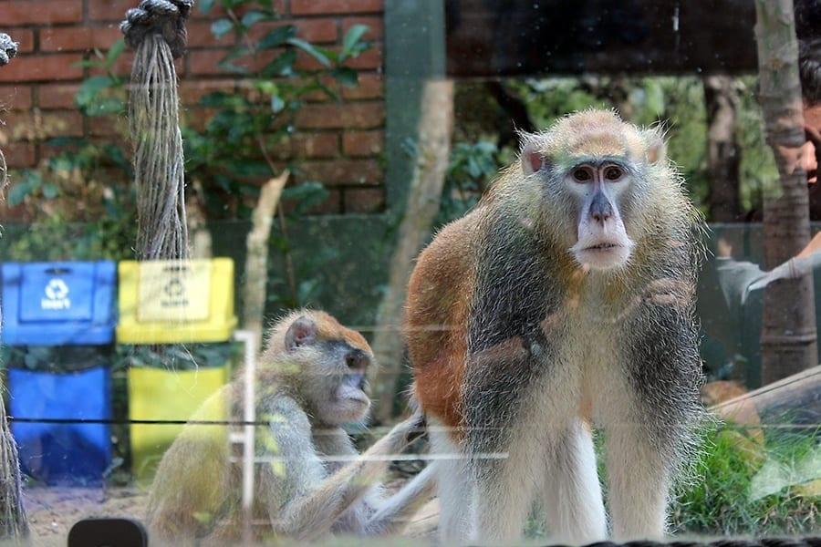 macaco-bauru
